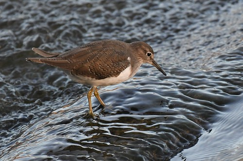 Chevalier guignette - Actitis hypoleucos - Common sandpiper | by Patrick Blondel