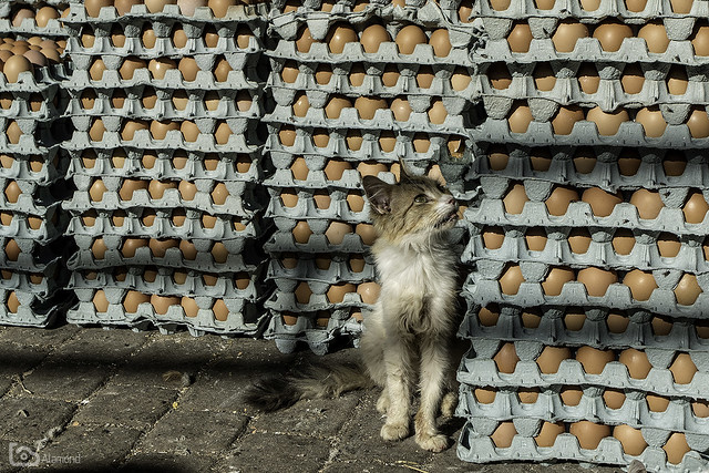 Guardian of the eggs