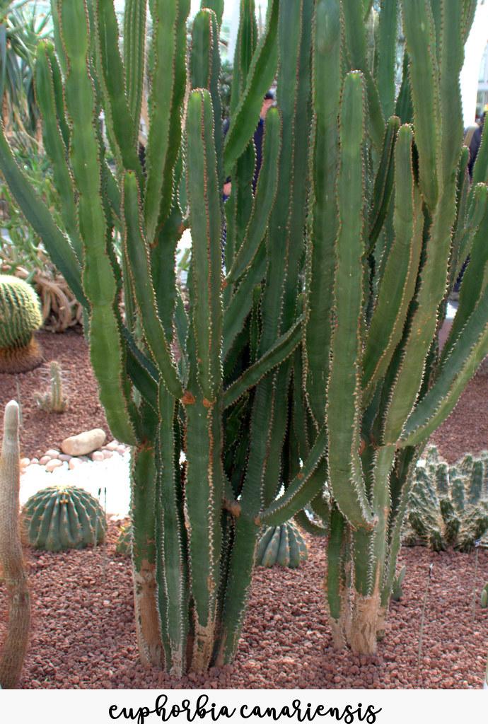 Euphorbias Euphorbia Canariensis Manuel M V Flickr