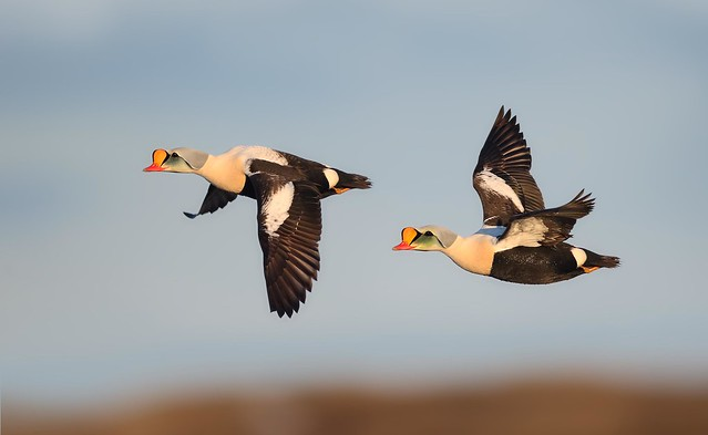 King Eider Drakes on the wing