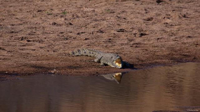 IMGP0114 Crocodile heating at sun