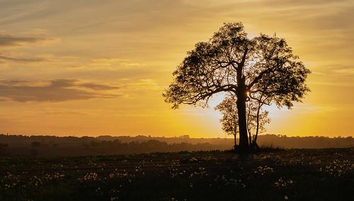 sundown sunsetting goldenhour tree silouhette