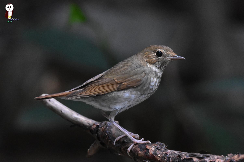 Rufous-tailed_Robin_4927