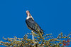 Marabou Stork by DragonSpeed