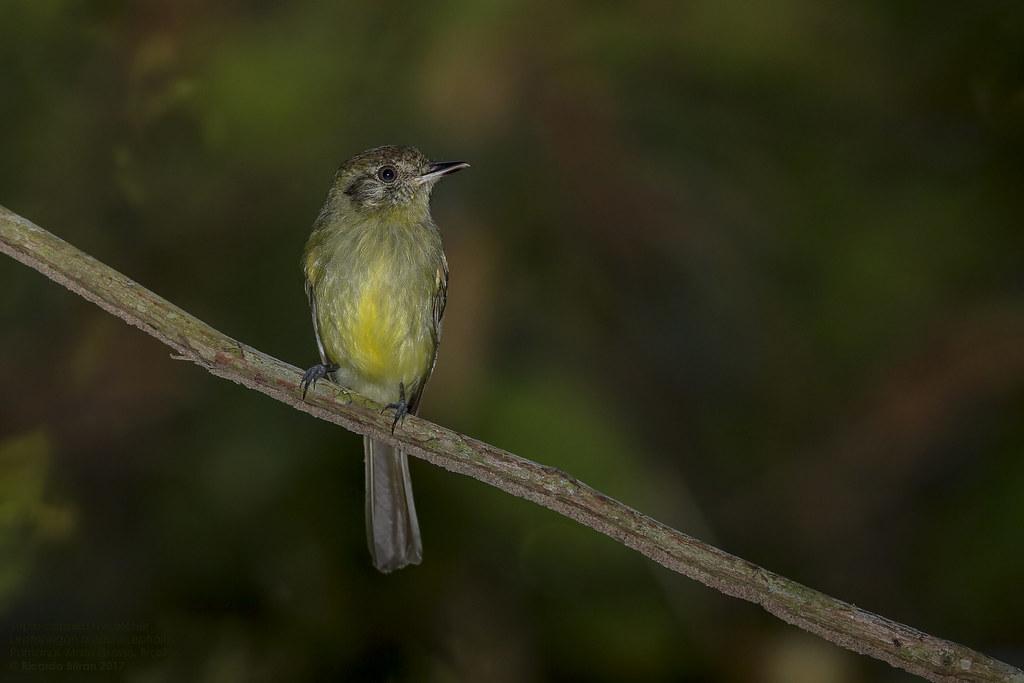 Sepia-capped Flycatcher (Leptopogon amaurocephalus) Pantanal, Mato Grosso, Brazil 2017
