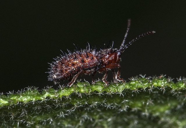 Dicladispa testacea on Cistus salvifolius