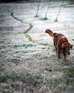 Morning dew . . . . #flickr #sonya7iii #g85 #okc #oklahoma #goldenretriever #morning #walk ##wetpaws | by AndyDavison v5.0
