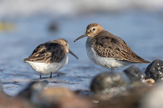 Alpenstrandläufer [dunlin] | by Songs.Ohia