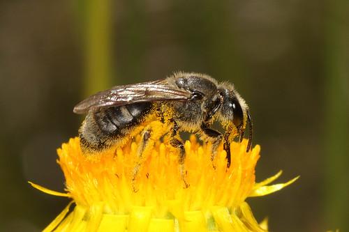 Lasioglossum bee -Chilalictus sp.