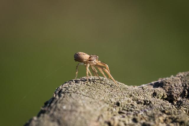 Arachtober 28 - Ballooning Xysticus sp. (Crab spider)