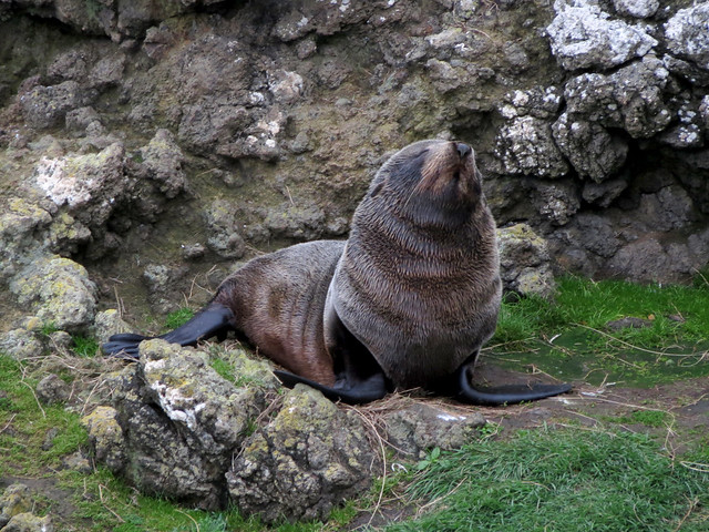 Fur Seal Pup Snoozing