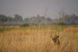 Lion Waiting to Attack