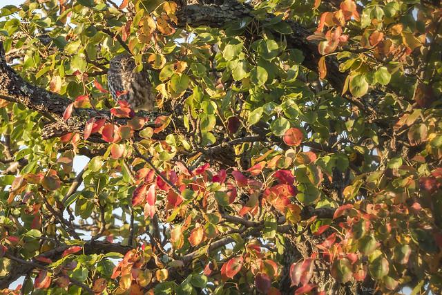 Owl & apples