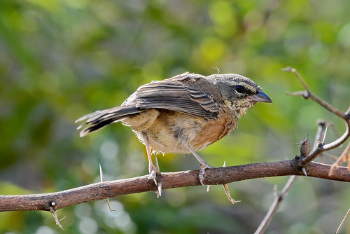 Боливийская синицевая овсянка, Poospiza boliviana, Bolivian Warbling-Finch | by Oleg Nomad