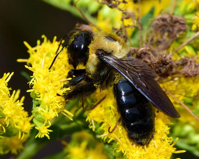 Carpenter Bee feasting on Goldenrod