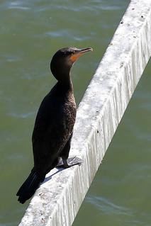 Great cormorant | by dmmaus