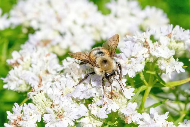 2017  Eastern Carpenter Bee (Xylocopa virginica) 4