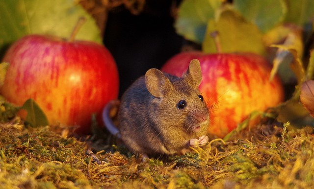 wild mouse with Autumn apples  (1)