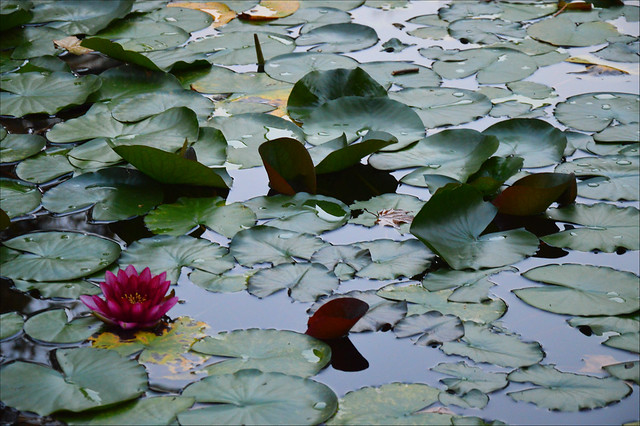 The last waterlily