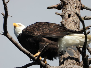 october 2 2018 15:32 - Eagle in The Babysitting Tree | by boonibarb
