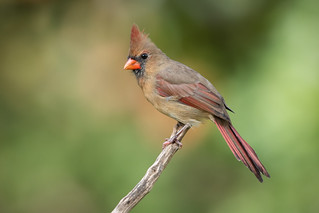 Female Northern Cardinal | by Rob & Amy Lavoie