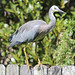 White-faced Heron - Photo (c) Arthur Chapman, some rights reserved (CC BY-NC)