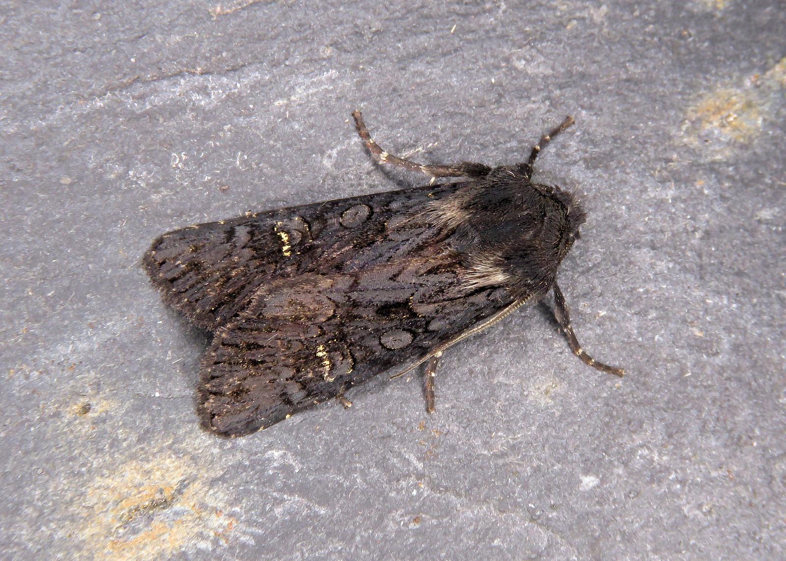 73.233 Black Rustic - Aporophyla nigra