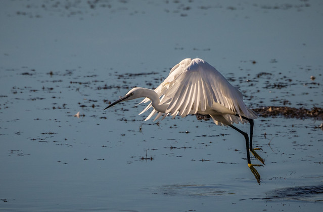 Egret chasing a Dragonfly
