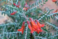 Lessertia frutescens/cancer bush