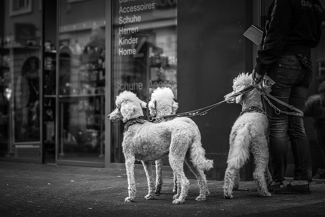 These poodles are knowing they are royal..