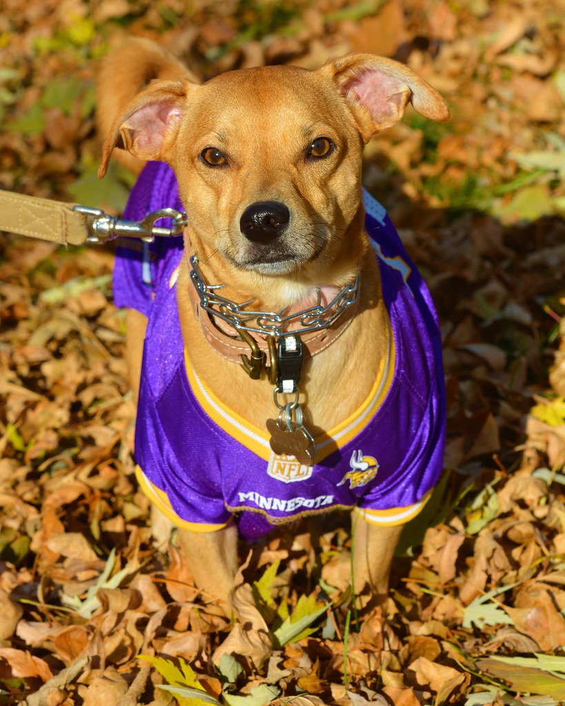 new arrival 03192 25997 Chucky in his Minnesota Vikings Jersey | Photographed Octobe ...