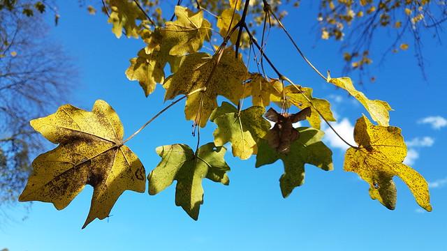 Autumn Leaves - Attnang-Puchheim - Austria