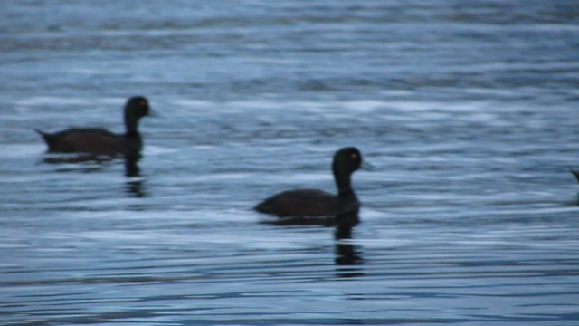 New Zealand Scaup gliding through the water