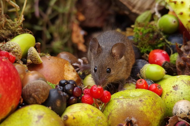 wild house mouse with wild picked fruits nuts and berries Autumn display (7)