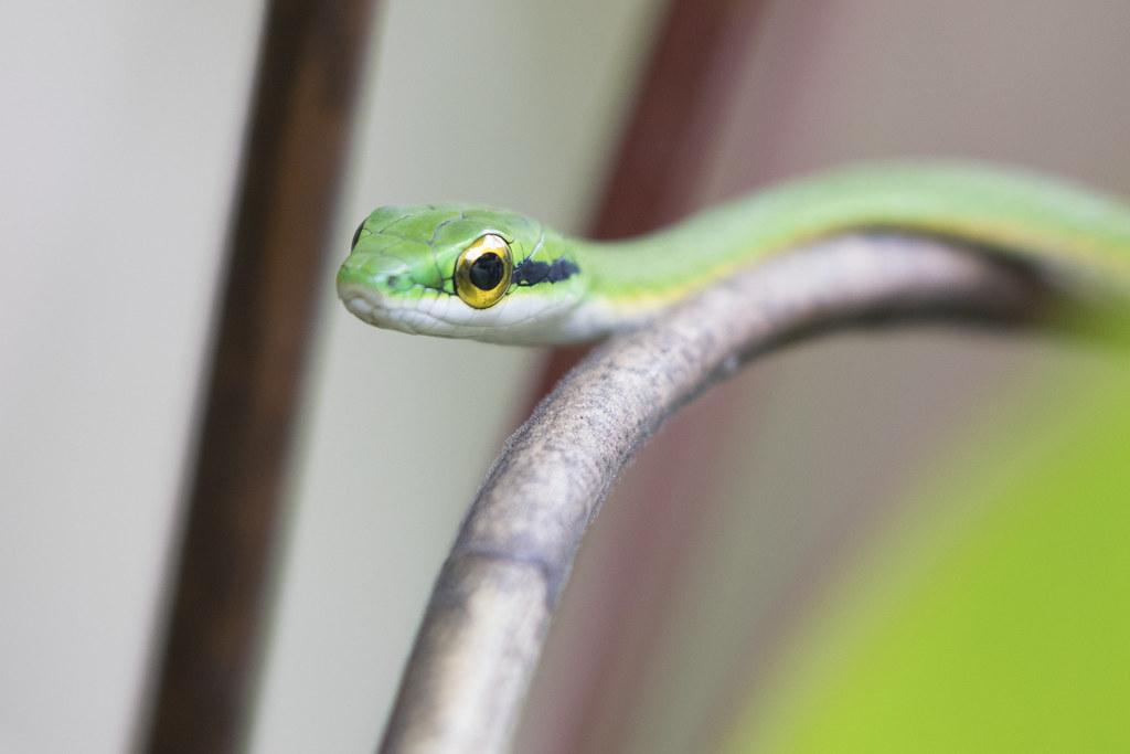 Leptophis ahaetulla / Green Parrot Snake