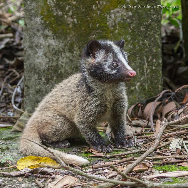 Paguma larvata - Masked Palm Civet