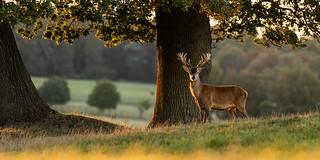 Red Deer at Sunset | by Rob'81