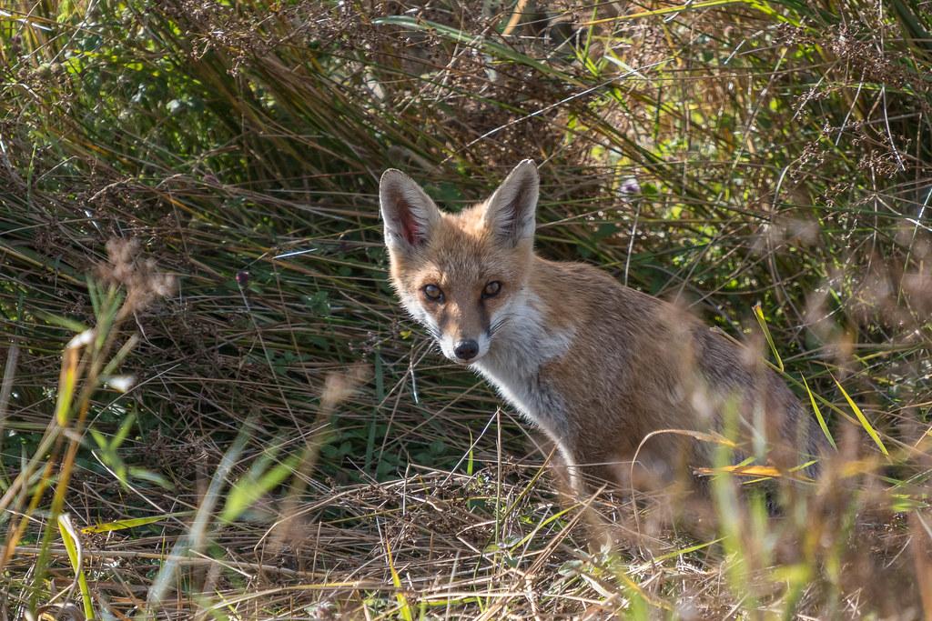 Kind Of Foxy Picture Photo Rusée Renard Roux Fox Gilles