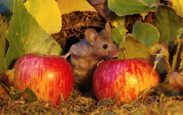 wild mouse with Autumn apples  (2)