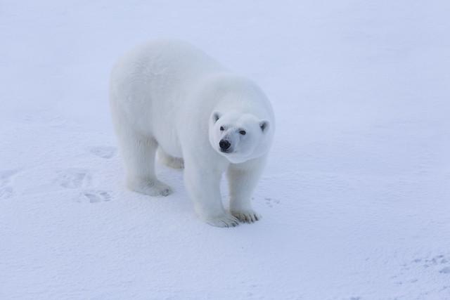 Female polar bear close up