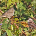 Lincoln and Song Sparrows by ShearH2O