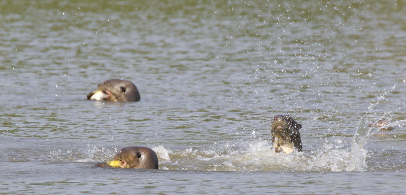 Giant River Otter, Pteronura brasiliensis 199A9048