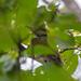 アオゲラ(Japanese Green Woodpecker)