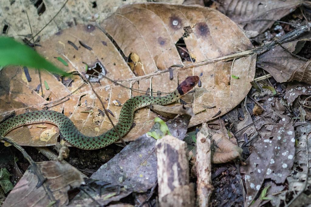 Cobra-verde (Erythrolamprus typhlus) Blind Ground Snake