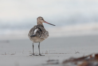 Pfuhlschnepfe [bar-tailed godwit] | by Songs.Ohia