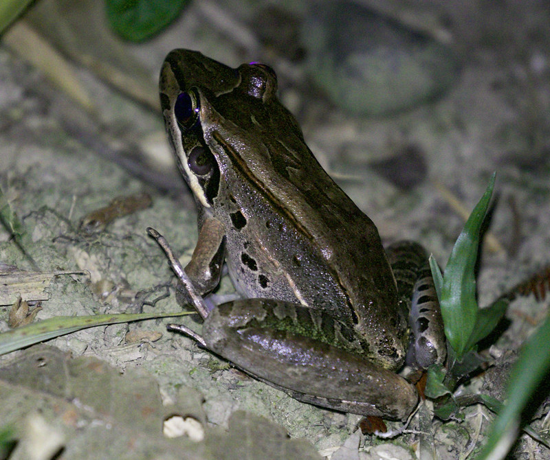 Bolivian White-lipped Frog, Leptodactylus bolivianus 199A9410
