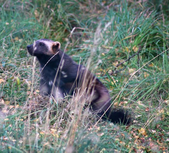 Wolverine at Highland Wildlife Park