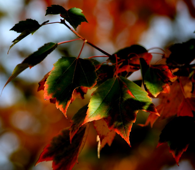 AUTUMN LEAVES,  ABBOTSFORD,  BC.