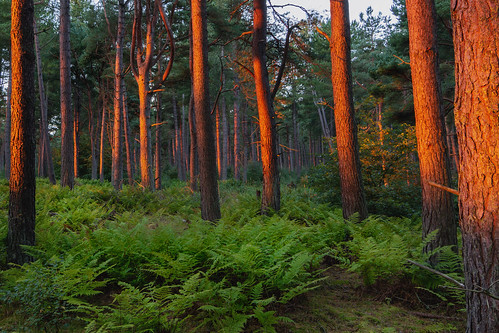 tentsmuirforest tentsmuir forest tree trees pine sunrise green red orange light golden glow sun landscape tayport fife scotland nikond7200 tokina1116mm