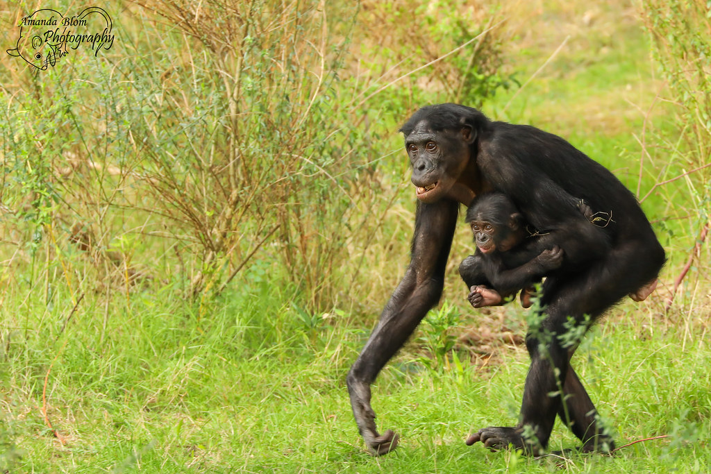 mommy, where are you taking me?! | bonobo monkeys | amanda blom